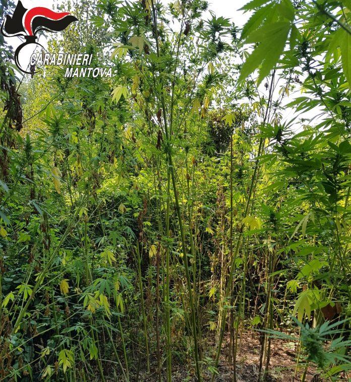 Droni in azione e appostamenti: i carabinieri sequestrano una maxi piantagione di marijuana